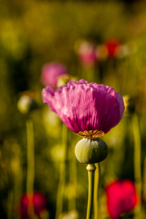 narcotism: Opium poppy with field out of focus in background. Editorial