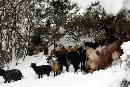 herd: Herd of goats in Turkey. Stock Photo