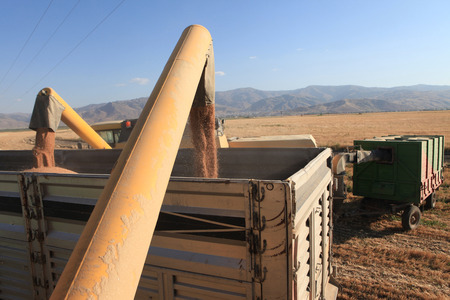 auger: Grain auger of combine pouring soy bean into tractor trailer