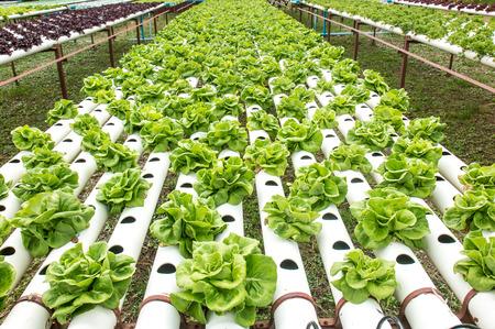 gutter: Hydroponics green vegetable garden