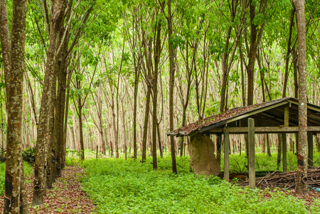 Rubber plantation and abandoned hut Stock Photo
