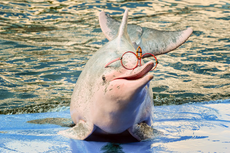Dolphin in Zoo. Dolphins are an informal grouping of the infraorder Cetacea and diverse group of aquatic mammals, Thailand. Stock Photo