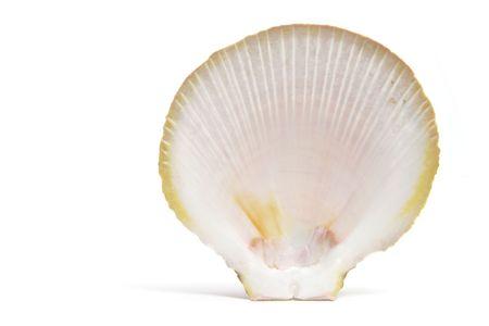 Seashell on Isolated White Background photo