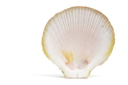 Seashell on Isolated White Background photo