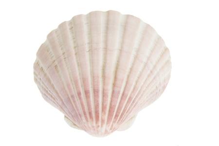 Scallop Seashell on White Background Stock Photo