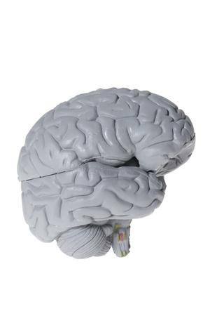 cerebrum: Brain Specimen on White Background