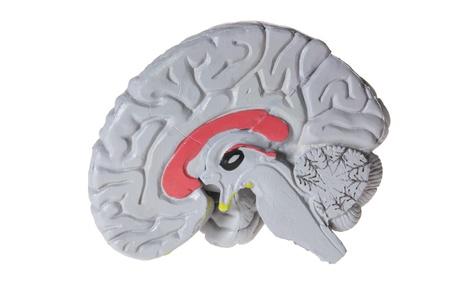 Brain Specimen on White Background photo