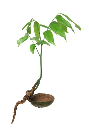 Young Plant on White Background Stock Photo - 11972314