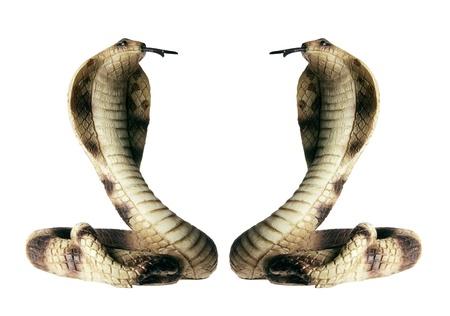 cobra: Cobra on Isolated White Background Stock Photo