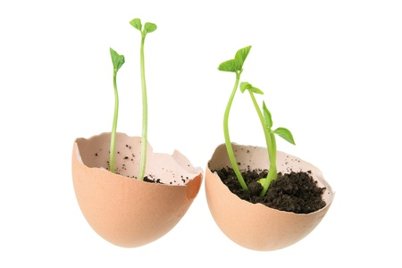 Young Plants in Egg Shells on White Background Stock Photo - 14214372