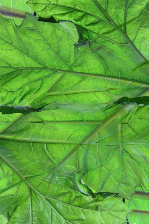 Close up of Bears Breeches Leaf Stock Photo