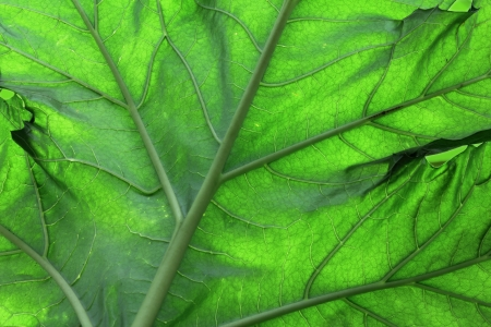 oyster plant: Close up of Bears Breeches Leaf Stock Photo