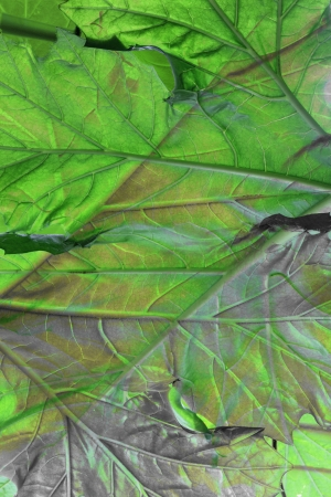 Close up of Bear's Breeches Leaf Stock Photo - 16123088
