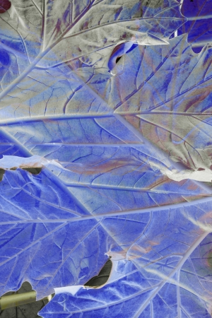 acanthus mollis: Close up of Bears Breeches Leaf Stock Photo