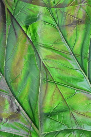 Close up of Bears Breeches Leaf photo