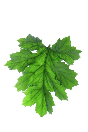 Bears Breeches Leaf on White Background photo