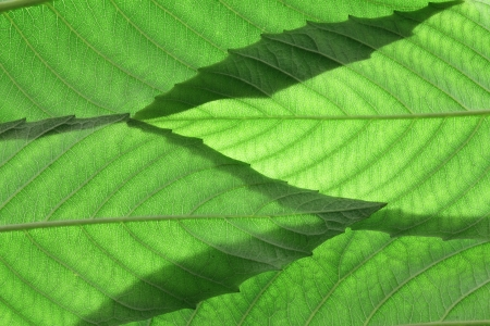 ash tree: Close Up of Ash Tree Leaves Stock Photo