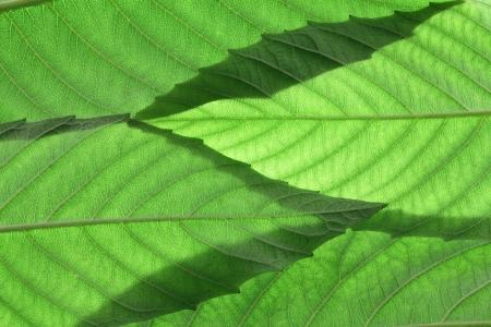 ash tree: Close Up of Leaves frassino Archivio Fotografico