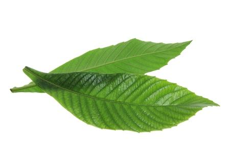 ash tree: Ash Tree Leaves on White Background