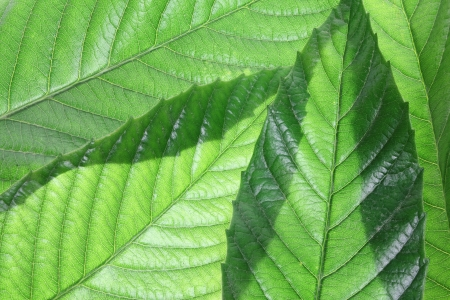 Close Up of Ash Tree Leaves Stock Photo - 16761027