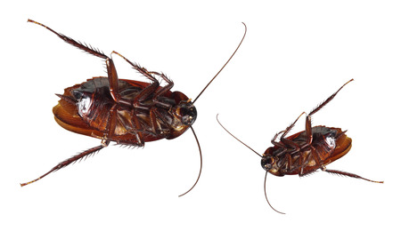 Dead Cockroaches on White Background Stock Photo