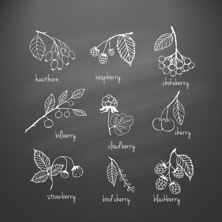blackboard: Colecci�n de jard�n y bayas silvestres. Bocetos dibujados a mano con tiza en la pizarra. Ilustraci�n vectorial para dise�o