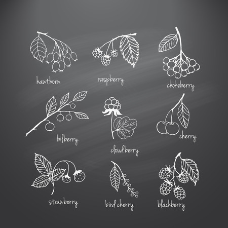 blackberry fruit: Collection of garden and wild berries. Hand-drawn sketches in chalk on the blackboard. Vector illustration for design Illustration