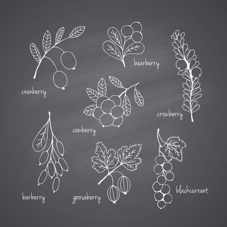 Collection of garden and wild berries. Hand-drawn sketches in chalk on the blackboard. Vector illustration for design Vector