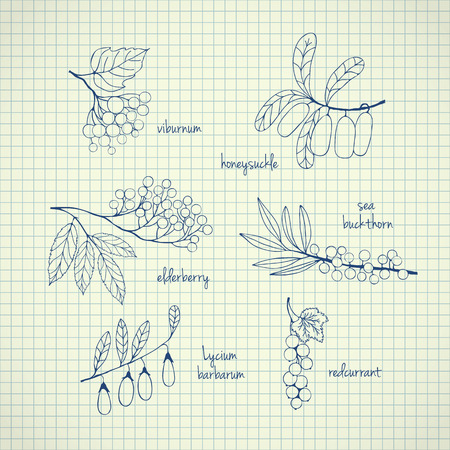 Collection of garden and wild berries. Hand-drawn sketches on paper