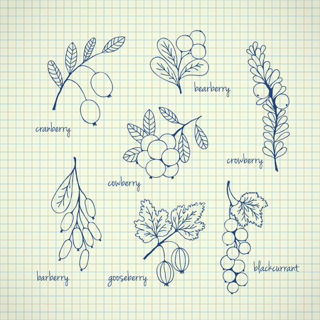 foxberry: Collection of garden and wild berries. Hand-drawn sketches on paper. Vector illustration for design Illustration