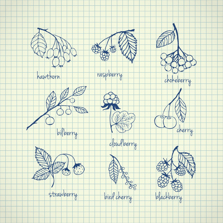 aronia: Collection of garden and wild berries. Hand-drawn sketches on paper. Vector illustration for design Illustration