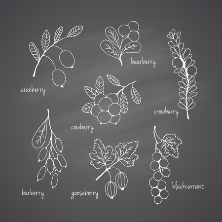 cowberry: Collection of garden and wild berries. Hand-drawn sketches in chalk on the blackboard. illustration for design