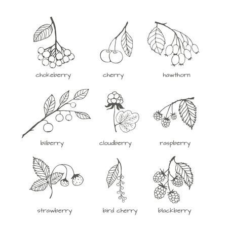 chokeberry: Set of hand-drawn garden and wild berries. isolated illustrations for design