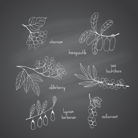 honeysuckle: Collection of garden and wild berries. Hand-drawn sketches in chalk on the blackboard. illustration for design