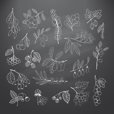 honeysuckle: Collection of garden and wild berries. Chalk silhouettes on blackboard. elements for design