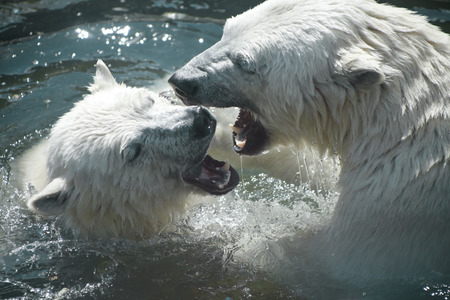 dueling: Nature, animals zoo mammals emotions Bears