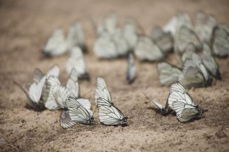 moisture: Many white butterflies drink the moisture
