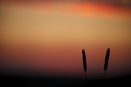 Beautiful summer sunset , background color, two spikelets on the background of sky photo