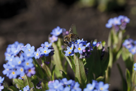 inflorescence: Beautiful inflorescence of brightly blue color and green background Stock Photo