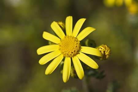 champ de fleurs: Beautiful yellow field flowers close up