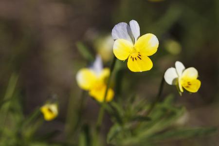 champ de fleurs: Belles fleurs jaunes sur le terrain de pr�s Banque d'images