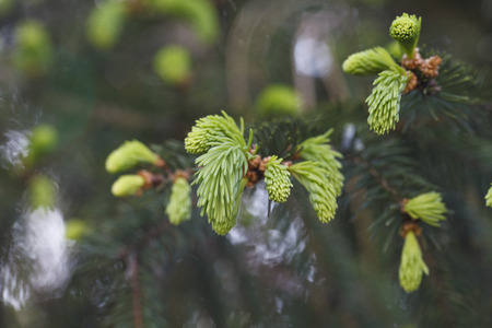 a beautiful buds of coniferous trees photo
