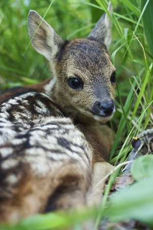 fawn: fawn in the wild background portrait