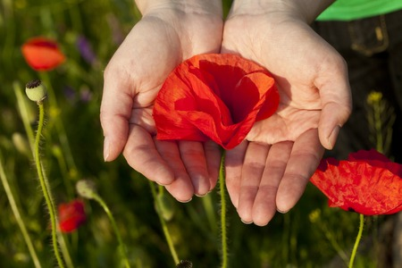 cereals holding hands: Poppy flower background hand care