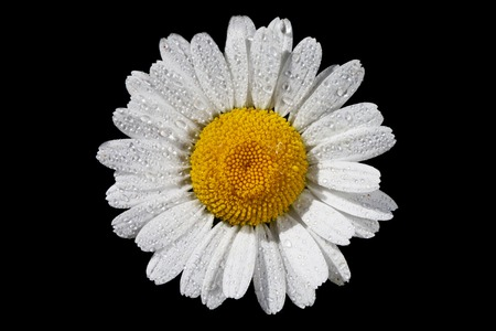 chamomile flower: a daisy isolated on a black background