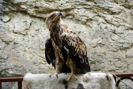 mountain eagle closeup of a beautiful bird of prey Stock Photo