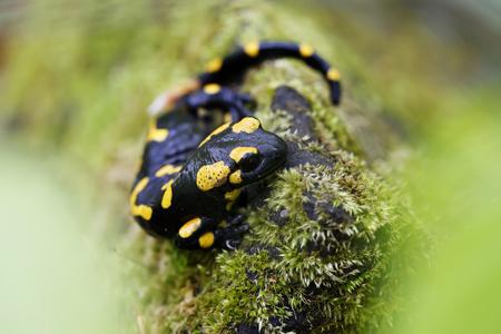 salamander: Black and yellow salamander in the wild close-up