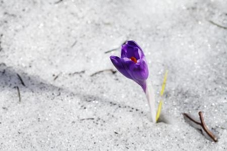 雪の中で紫色のクロッカスの花が咲く 写真素材