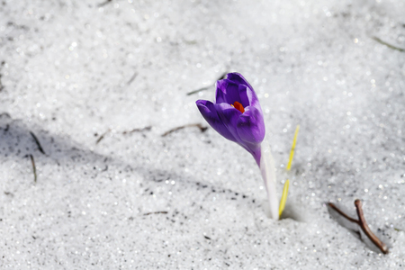 blooming purple crocus flower in the snow Banco de Imagens