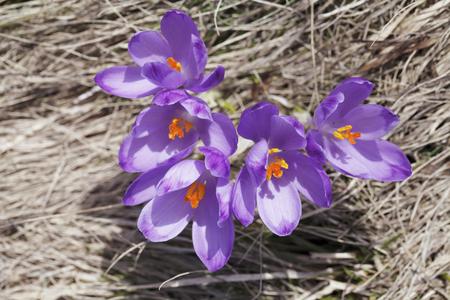 春、花の咲くカラフルなクロッカス 写真素材 - 79134464